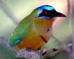 Belize Blue-Crowned Motmot Bird