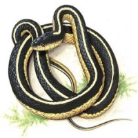 Effect of Tongue Removal on the Feeding of an Adult Garter Snake, Thamnophis Sirtalis (1977).