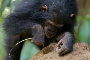 Chimpanzee Fishing for Termintes